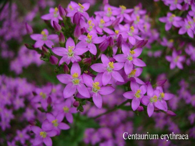 Centaury - Centaurium erythraea