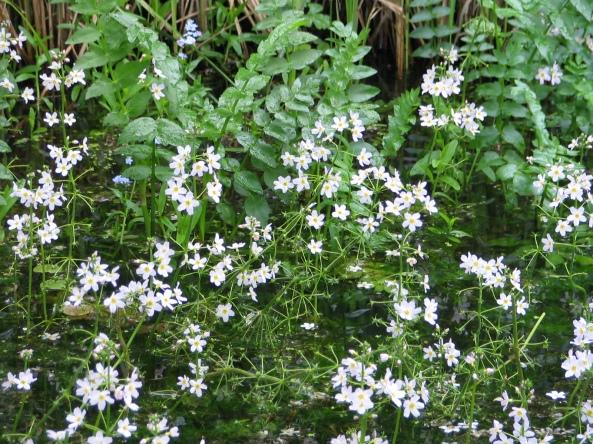 Water Violets - Hottonia palustris