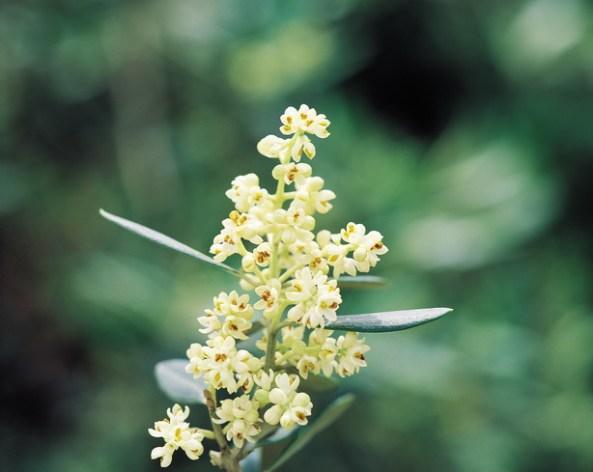 Olive - Olea Europaea