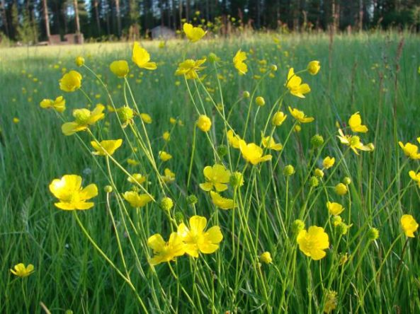 Buttercups - Ranunculus acris