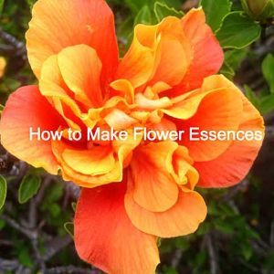 AstroHerbalist.com Hibiscus rosa-sinensis double apricot color