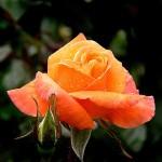 Orange Rose Lu-Losse TimeFlower Timing Magic Consultation